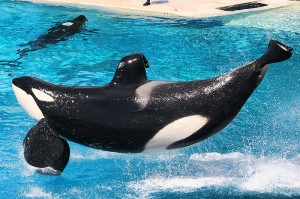 800px-Killer_whales_@_Ocean_Show_(8783294977)